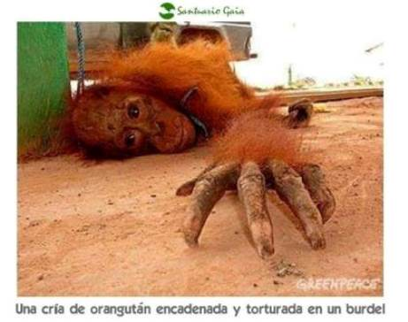 20141004125932-orangutanes-para-la-prostitucion....jpg