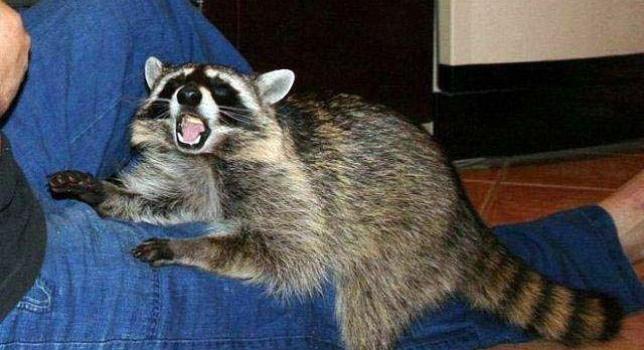 Un mapache en acción